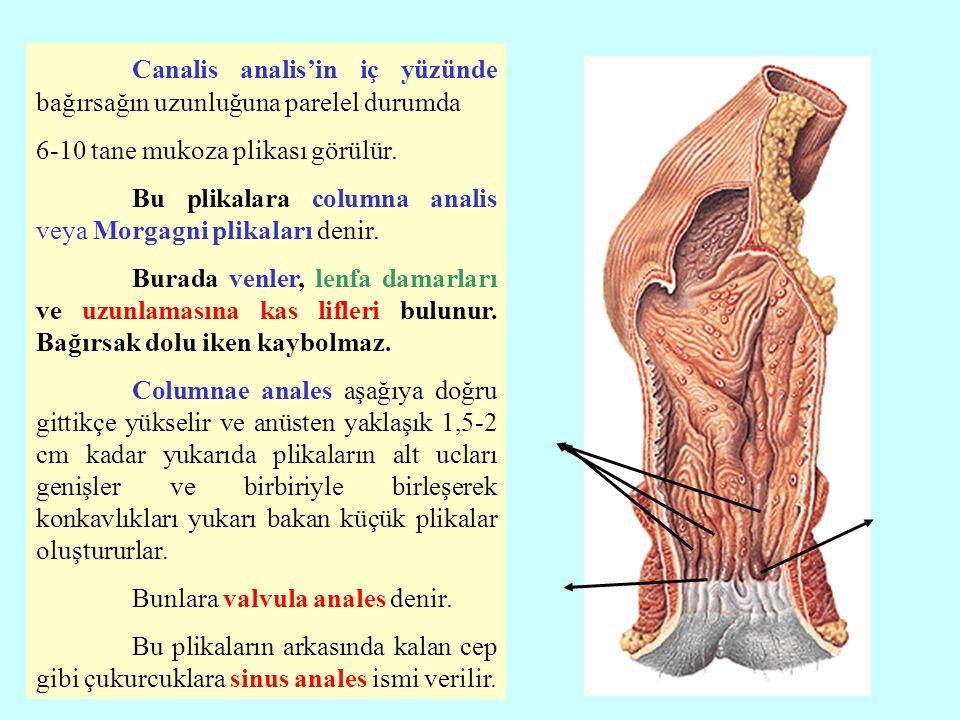 Canalis analis'in iç yüzünde bağırsağın uzunluğuna parelel durumda 6-10 tane mukoza plikası görülür. Bu plikalara columna analis veya Morgagni plikala