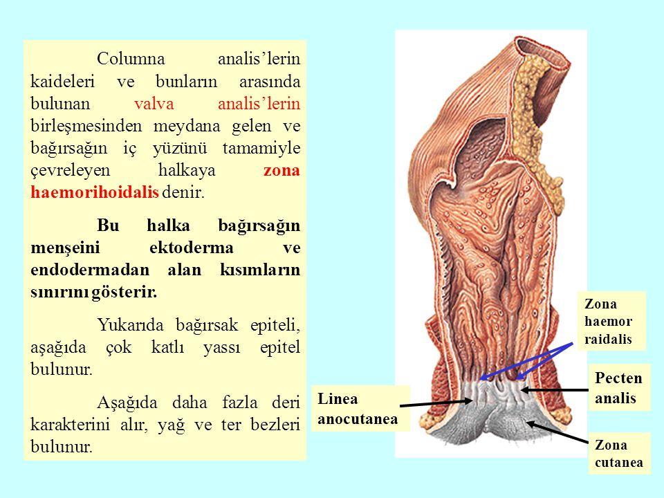 Columna analis'lerin kaideleri ve bunların arasında bulunan valva analis'lerin birleşmesinden meydana gelen ve bağırsağın iç yüzünü tamamiyle çevreley