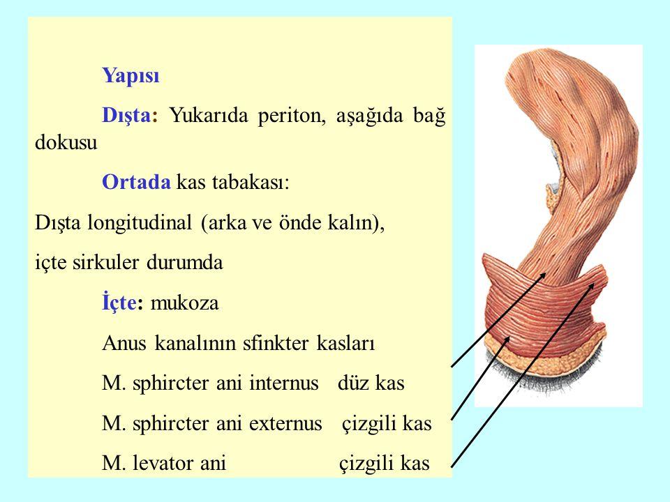Yapısı Dışta: Yukarıda periton, aşağıda bağ dokusu Ortada kas tabakası: Dışta longitudinal (arka ve önde kalın), içte sirkuler durumda İçte: mukoza An
