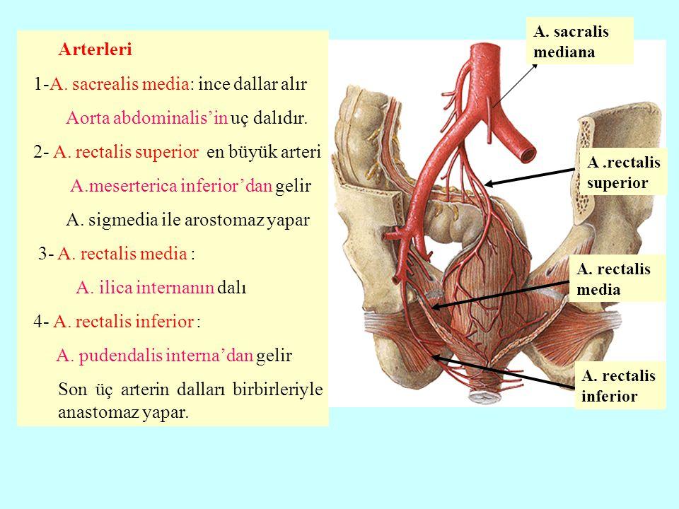Arterleri 1-A. sacrealis media: ince dallar alır Aorta abdominalis'in uç dalıdır. 2- A. rectalis superior en büyük arteri A.meserterica inferior'dan g