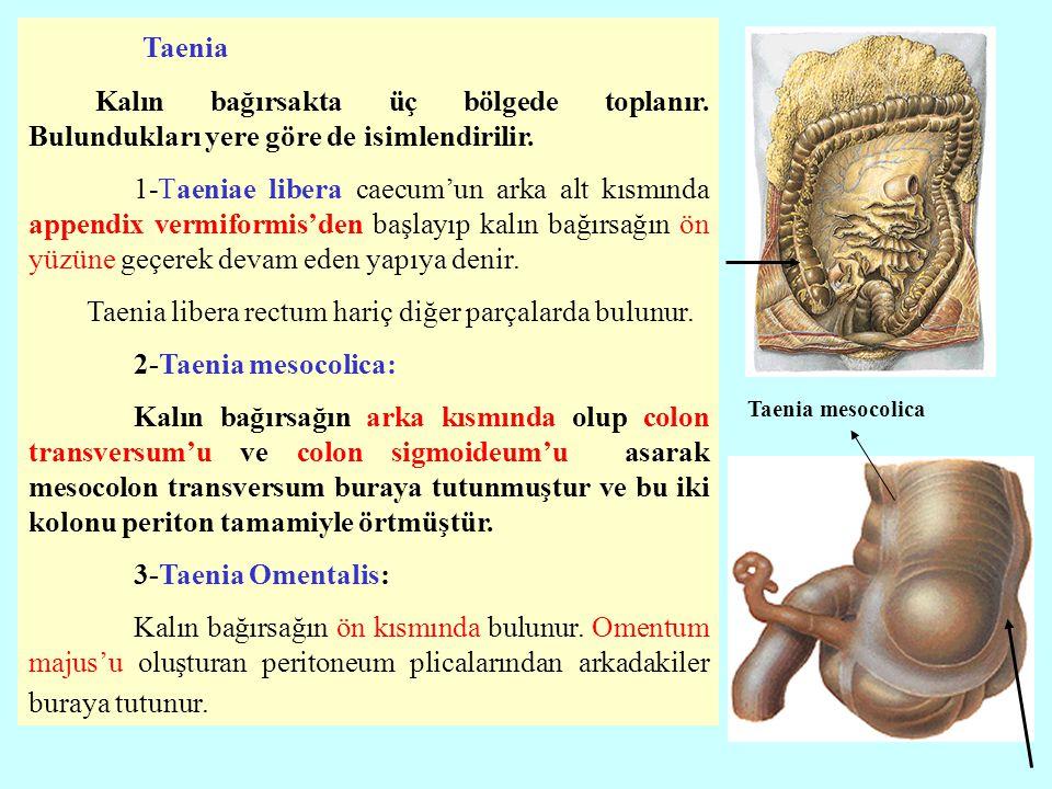 Taenia Kalın bağırsakta üç bölgede toplanır. Bulundukları yere göre de isimlendirilir. 1-Taeniae libera caecum'un arka alt kısmında appendix vermiform