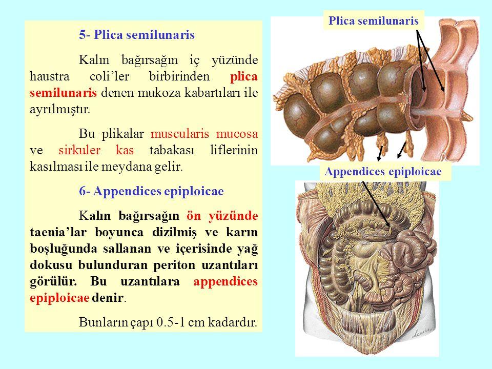 5- Plica semilunaris Kalın bağırsağın iç yüzünde haustra coli'ler birbirinden plica semilunaris denen mukoza kabartıları ile ayrılmıştır. Bu plikalar