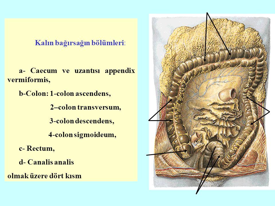 Kalın bağırsağın bölümleri: a- Caecum ve uzantısı appendix vermiformis, b-Colon: 1-colon ascendens, 2–colon transversum, 3-colon descendens, 4-colon s