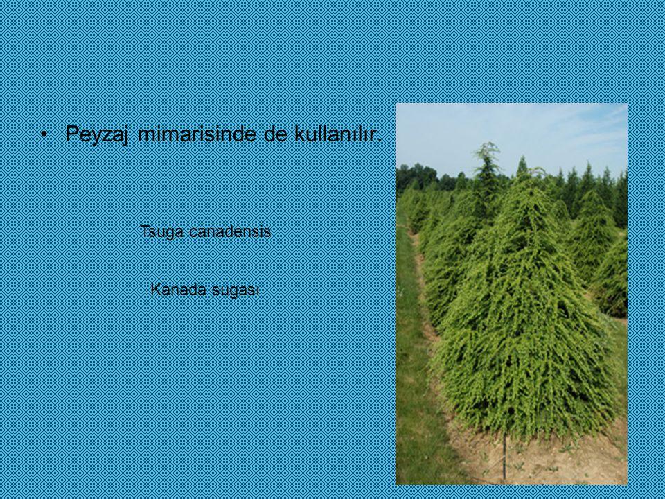 Peyzaj mimarisinde de kullanılır. Tsuga canadensis Kanada sugası