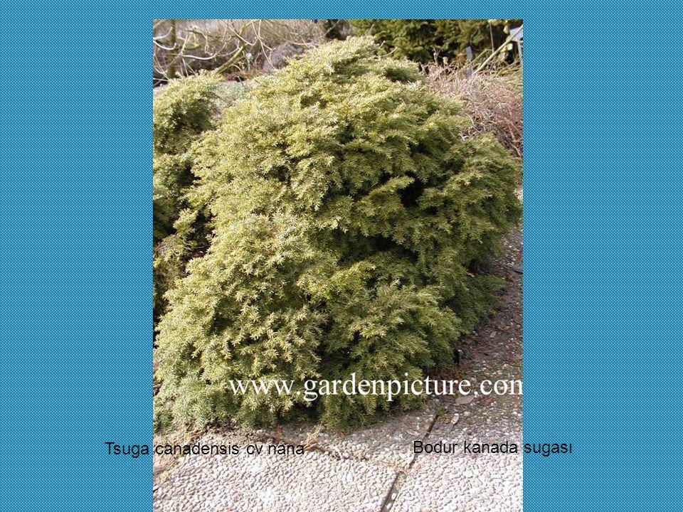 Tsuga canadensis cv nana Bodur kanada sugası