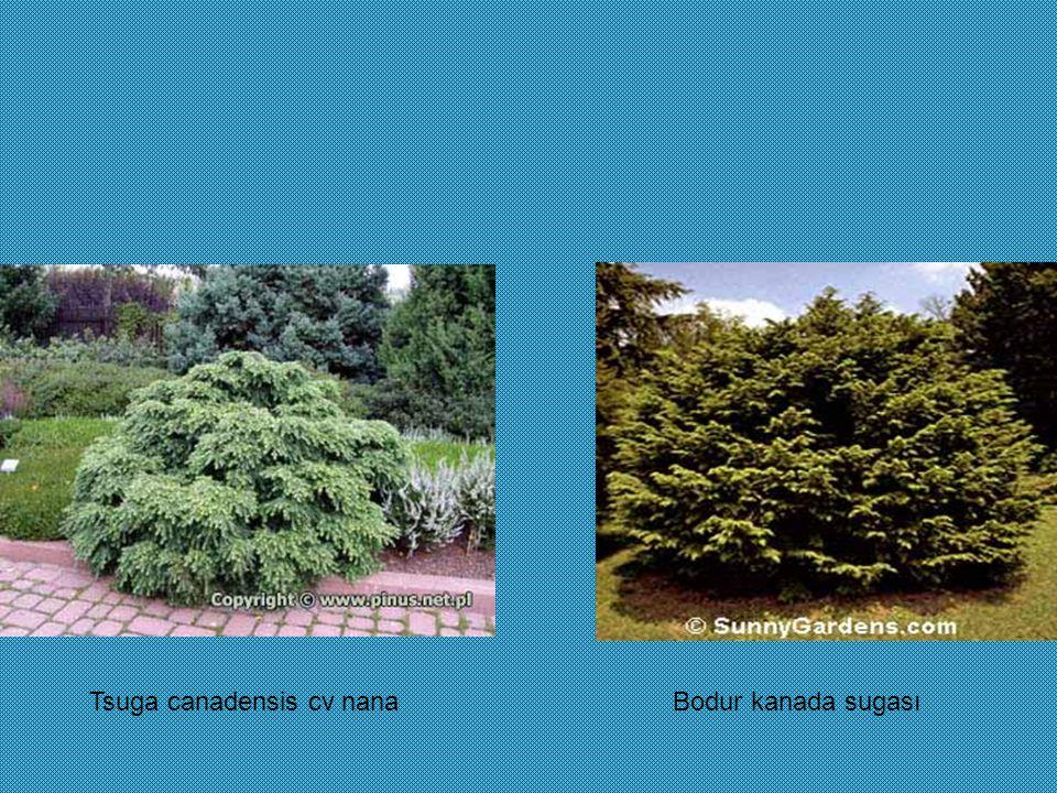 Tsuga canadensis cv nanaBodur kanada sugası