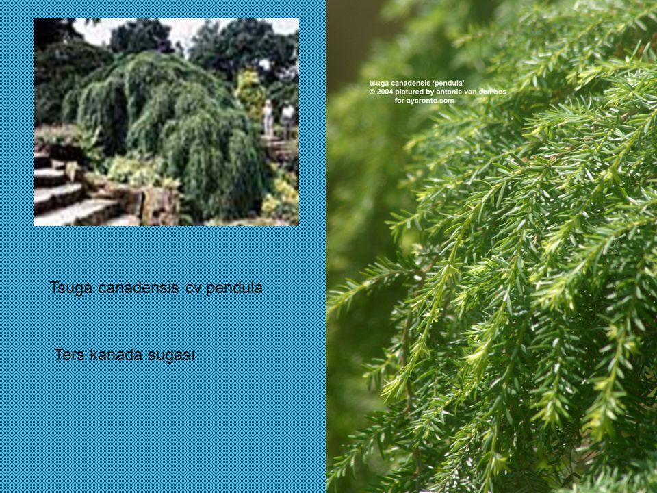 Tsuga canadensis cv pendula Ters kanada sugası