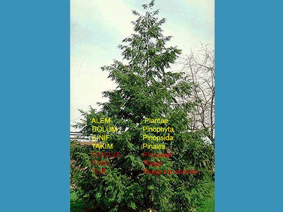ALEM: Plantae BÖLÜM:Pinophyta SINIF:Pinopsida TAKIM:Pinales FAMİLYA:Pinaceae CİNS:Tsuga TÜR:Tsuga canadensis