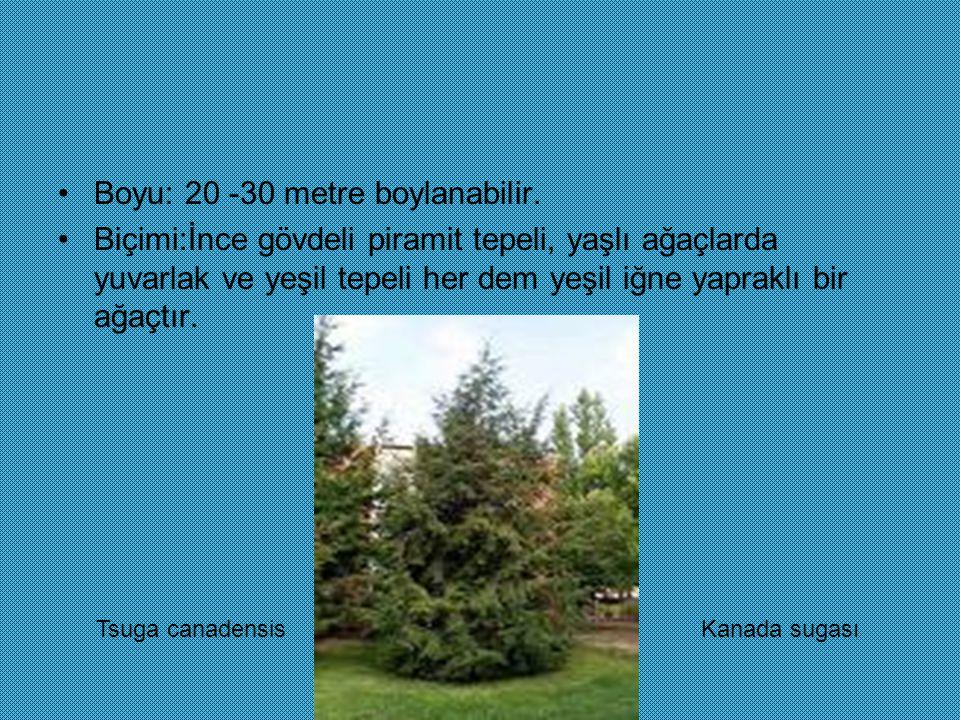 Boyu: 20 -30 metre boylanabilir. Biçimi:İnce gövdeli piramit tepeli, yaşlı ağaçlarda yuvarlak ve yeşil tepeli her dem yeşil iğne yapraklı bir ağaçtır.