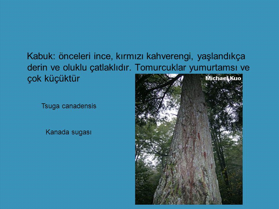 Kabuk: önceleri ince, kırmızı kahverengi, yaşlandıkça derin ve oluklu çatlaklıdır. Tomurcuklar yumurtamsı ve çok küçüktür Tsuga canadensis Kanada suga