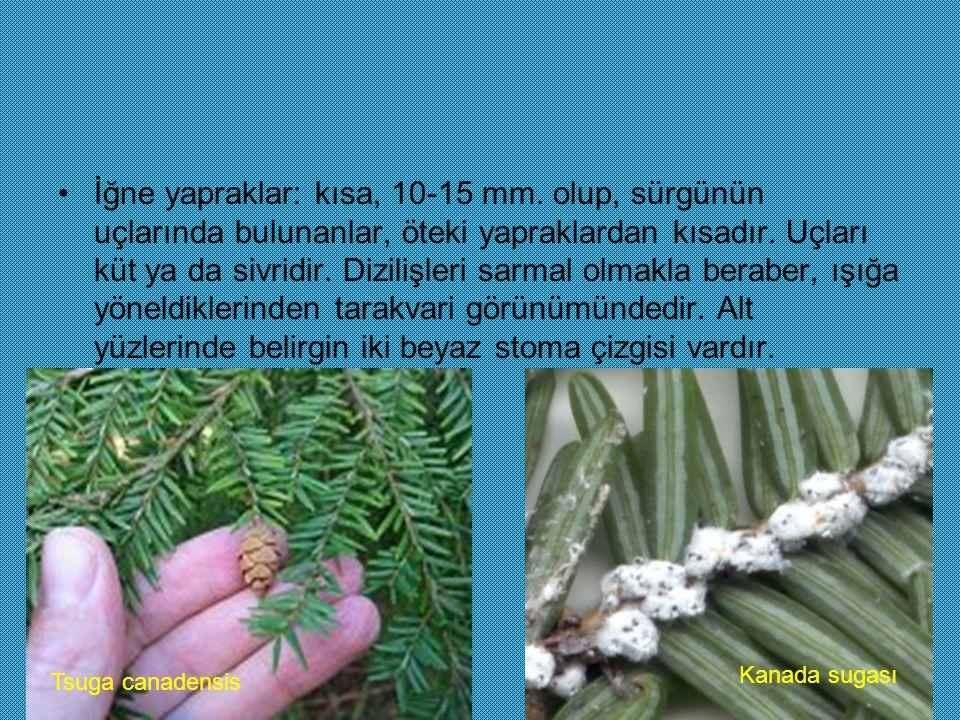 İğne yapraklar: kısa, 10-15 mm. olup, sürgünün uçlarında bulunanlar, öteki yapraklardan kısadır. Uçları küt ya da sivridir. Dizilişleri sarmal olmakla