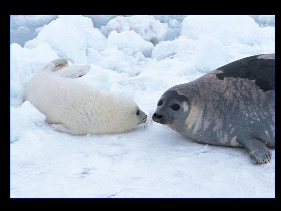 Geriye, karlar üzerinde, derisi yüzülmüş yüzbinlerce ölü fok kalır…