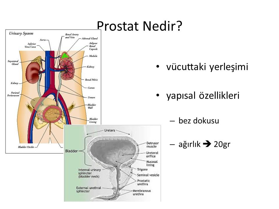 Prostat Nedir? vücuttaki yerleşimi yapısal özellikleri – bez dokusu – ağırlık  20gr