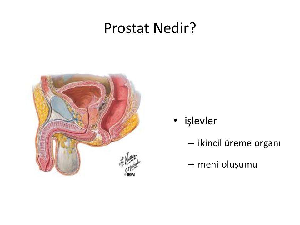 Prostat Nedir? işlevler – ikincil üreme organı – meni oluşumu