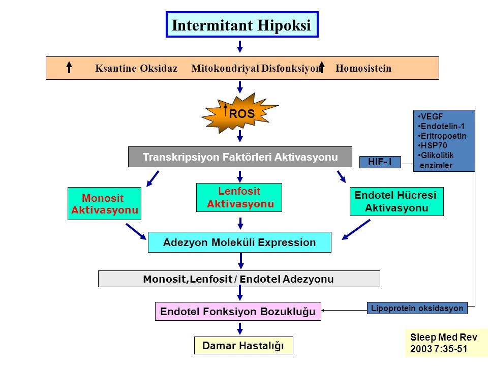 ROS Ksantine Oksidaz Mitokondriyal Disfonksiyon Homosistein Transkripsiyon Faktörleri Aktivasyonu Monosit Aktivasyonu Lenfosit Aktivasyonu Endotel Hücresi Aktivasyonu Adezyon Moleküli Expression Monosit,Lenfosit / Endotel Adezyonu Endotel Fonksiyon Bozukluğu Damar Hastalığı Intermitant Hipoksi Sleep Med Rev 2003 7:35-51 VEGF Endotelin-1 Eritropoetin HSP70 Glikolitik enzimler Lipoprotein oksidasyon HIF- I