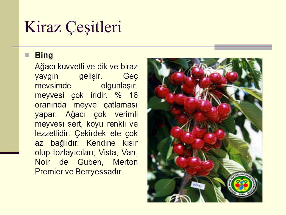 Kiraz Çeşitleri Bing Ağacı kuvvetli ve dik ve biraz yaygın gelişir. Geç mevsimde olgunlaşır. meyvesi çok iridir. % 16 oranında meyve çatlaması yapar.