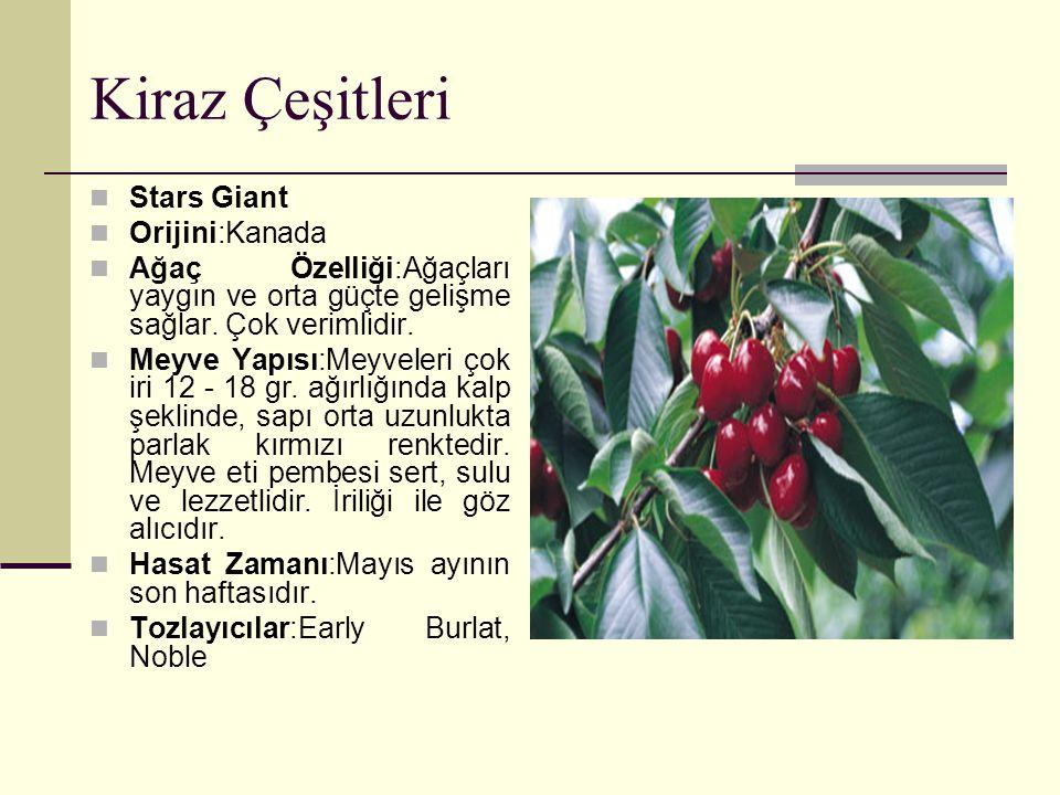 Kiraz Çeşitleri Stars Giant Orijini:Kanada Ağaç Özelliği:Ağaçları yaygın ve orta güçte gelişme sağlar.