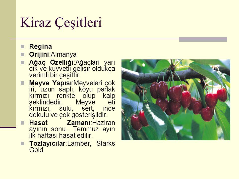 Kiraz Çeşitleri Regina Orijini:Almanya Ağaç Özelliği:Ağaçları yarı dik ve kuvvetli gelişir oldukça verimli bir çeşittir. Meyve Yapısı:Meyveleri çok ir