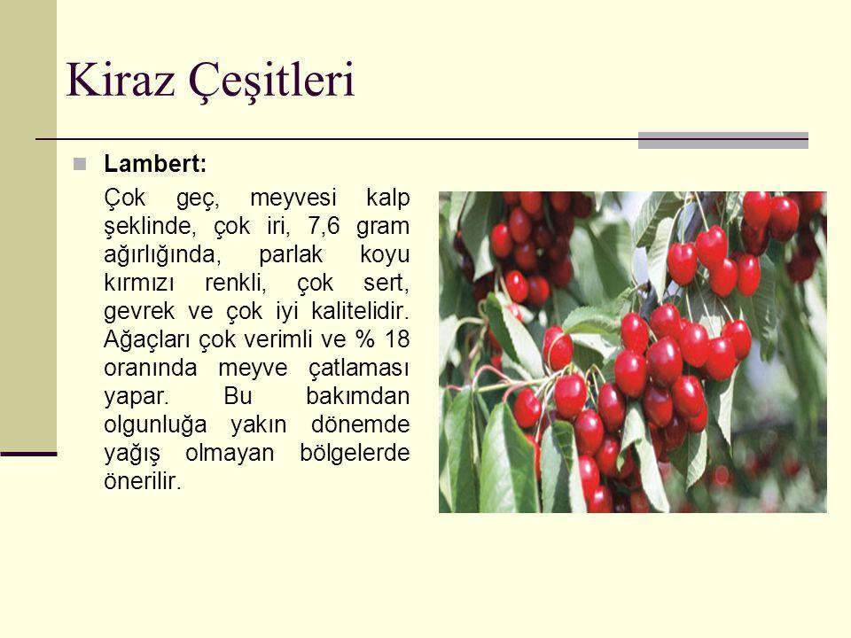 Kiraz Çeşitleri Lambert: Çok geç, meyvesi kalp şeklinde, çok iri, 7,6 gram ağırlığında, parlak koyu kırmızı renkli, çok sert, gevrek ve çok iyi kalite