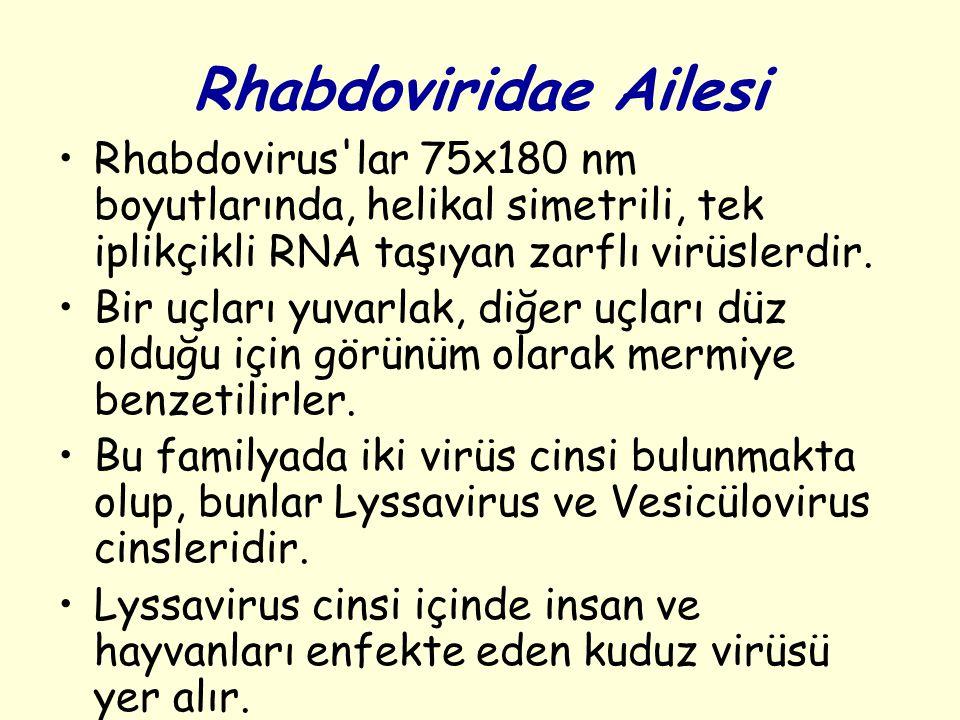 Rhabdoviridae Ailesi Rhabdovirus lar 75x180 nm boyutlarında, helikal simetrili, tek iplikçikli RNA taşıyan zarflı virüslerdir.