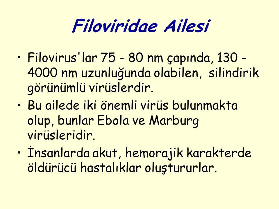 Filoviridae Ailesi Filovirus lar 75 - 80 nm çapında, 130 - 4000 nm uzunluğunda olabilen, silindirik görünümlü virüslerdir.