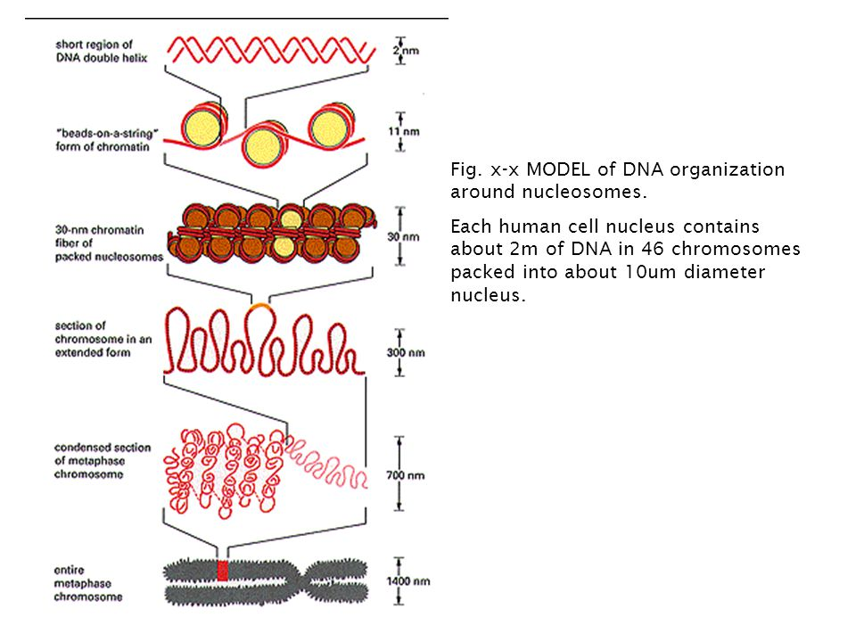 Fig.x-x MODEL of DNA organization around nucleosomes.