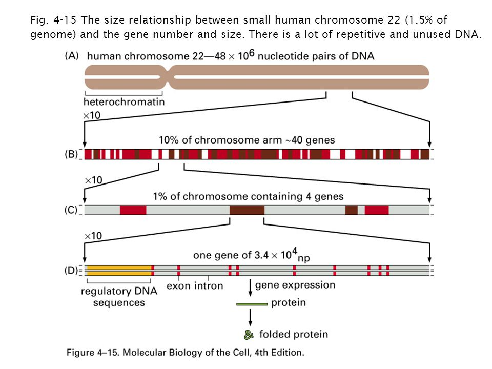 Fig. 4-15 The size relationship between small human chromosome 22 (1.5% of genome) and the gene number and size. There is a lot of repetitive and unus