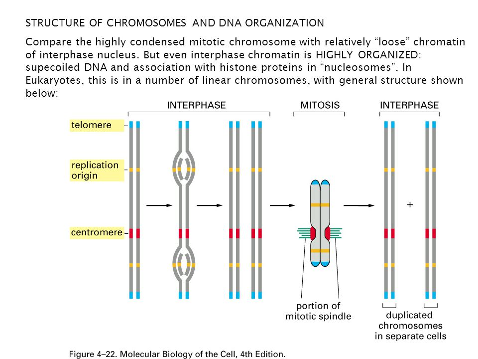 "STRUCTURE OF CHROMOSOMES AND DNA ORGANIZATION Compare the highly condensed mitotic chromosome with relatively ""loose"" chromatin of interphase nucleus."