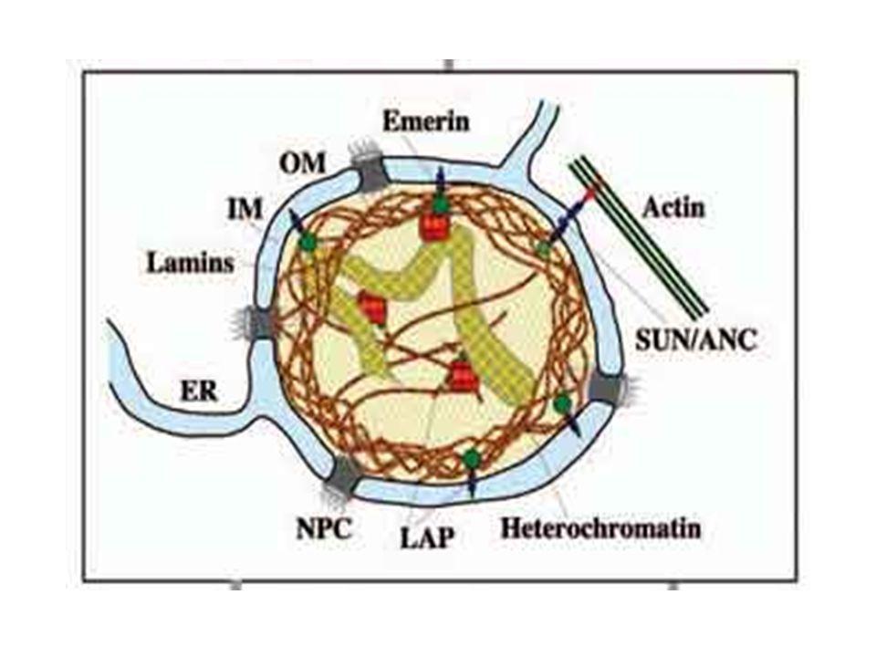 oNukleer kilifin ic membraninda katman boyunca agsi bir yapi olusur.