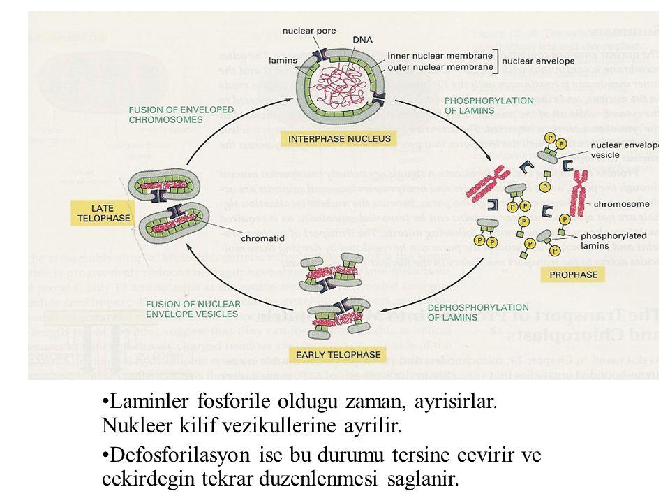 Laminler fosforile oldugu zaman, ayrisirlar. Nukleer kilif vezikullerine ayrilir. Defosforilasyon ise bu durumu tersine cevirir ve cekirdegin tekrar d