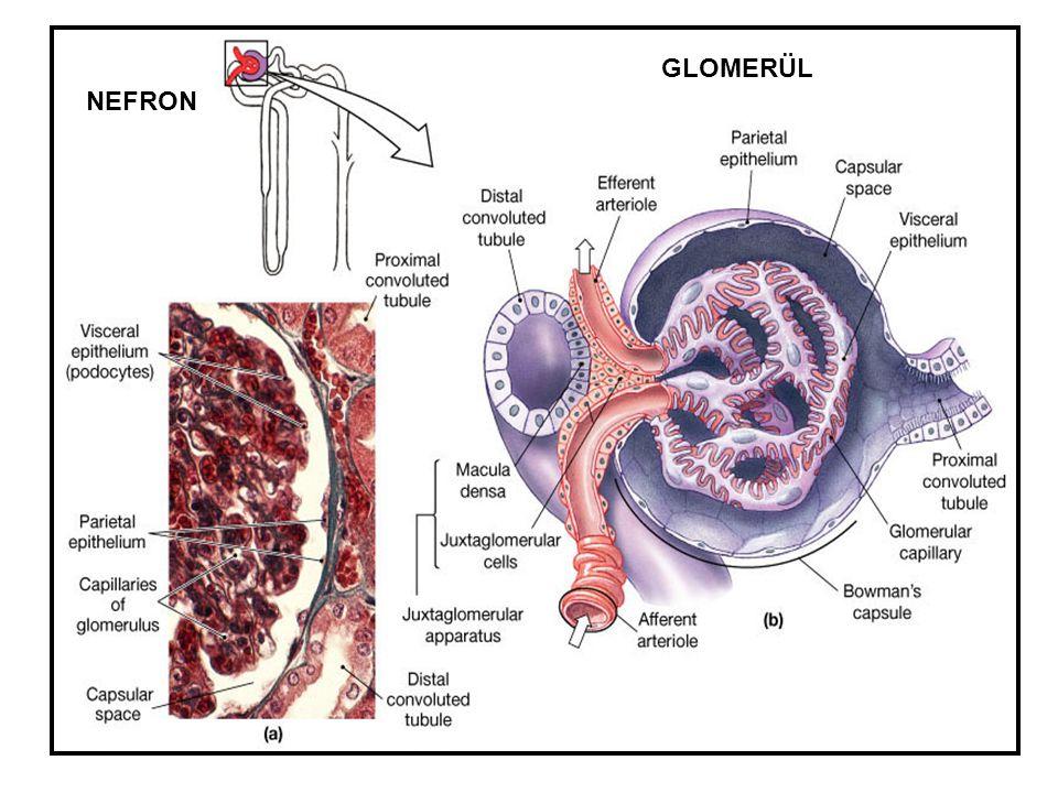 Membranöz Nefropati: MN  Erişkinlerde sık  %75 primer (idiopatik)  Pik insidans 40-50 yaş % 25  % 80-90 nefrotik sendromla seyreder  % 10-20 non-nefrotik proteinüri +  Hipertansiyon %30  GFH normal veya hafif azalmış (%30)  Trombotik olaylar sık  Şiddetli proteinüri % 10-20 selektif  Mikroskobik hematüri % 50  Makroskopik hematüri nadir  Kompleman düzeyi normal