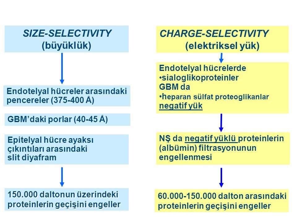CHARGE-SELECTIVITY (elektriksel yük) SIZE-SELECTIVITY (büyüklük) Endotelyal hücrelerde sialoglikoproteinler GBM da h eparan sülfat proteoglikanlar neg