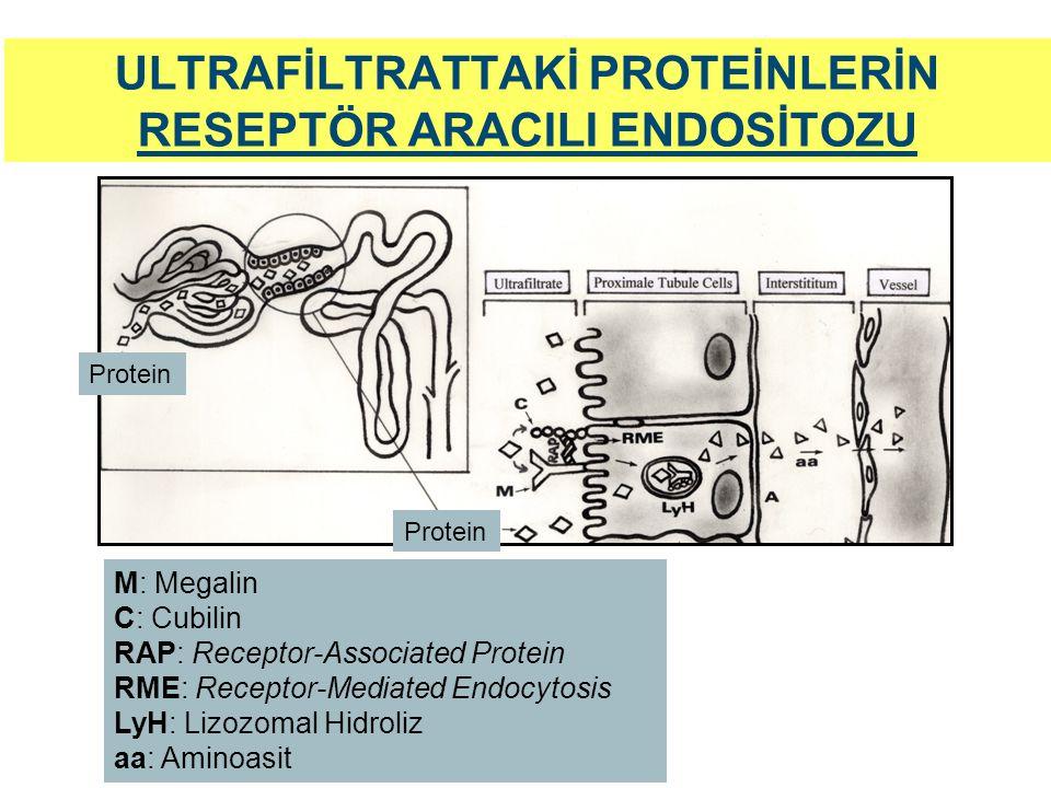 ULTRAFİLTRATTAKİ PROTEİNLERİN RESEPTÖR ARACILI ENDOSİTOZU Protein M: Megalin C: Cubilin RAP: Receptor-Associated Protein RME: Receptor-Mediated Endocy