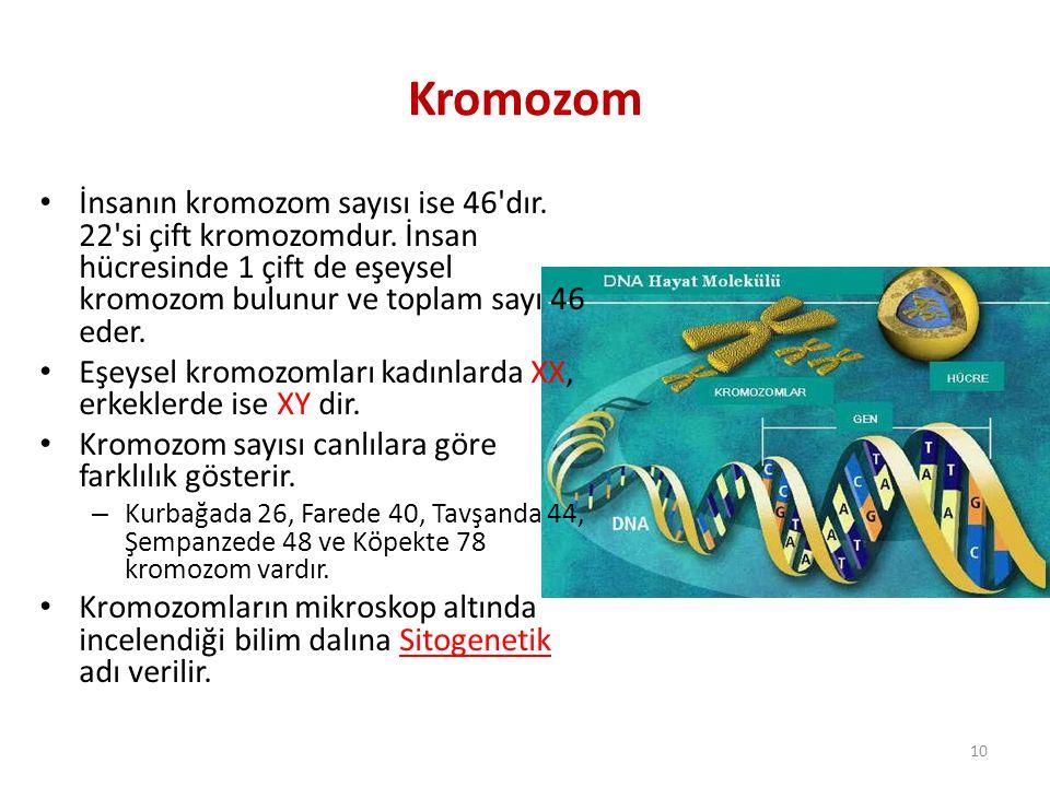 İnsanın kromozom sayısı ise 46'dır. 22'si çift kromozomdur. İnsan hücresinde 1 çift de eşeysel kromozom bulunur ve toplam sayı 46 eder. Eşeysel kromoz