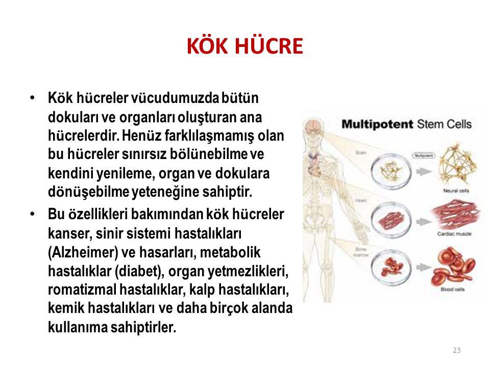 KÖK HÜCRE K ö k h ü creler v ü cudumuzda b ü t ü n dokuları ve organları oluşturan ana h ü crelerdir. Hen ü z farklılaşmamış olan bu h ü creler sınırs