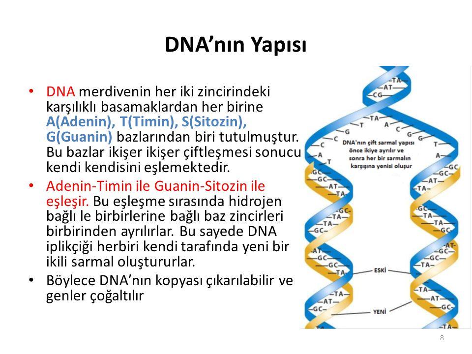 DNA'nın Yapısı DNA merdivenin her iki zincirindeki karşılıklı basamaklardan her birine A(Adenin), T(Timin), S(Sitozin), G(Guanin) bazlarından biri tut