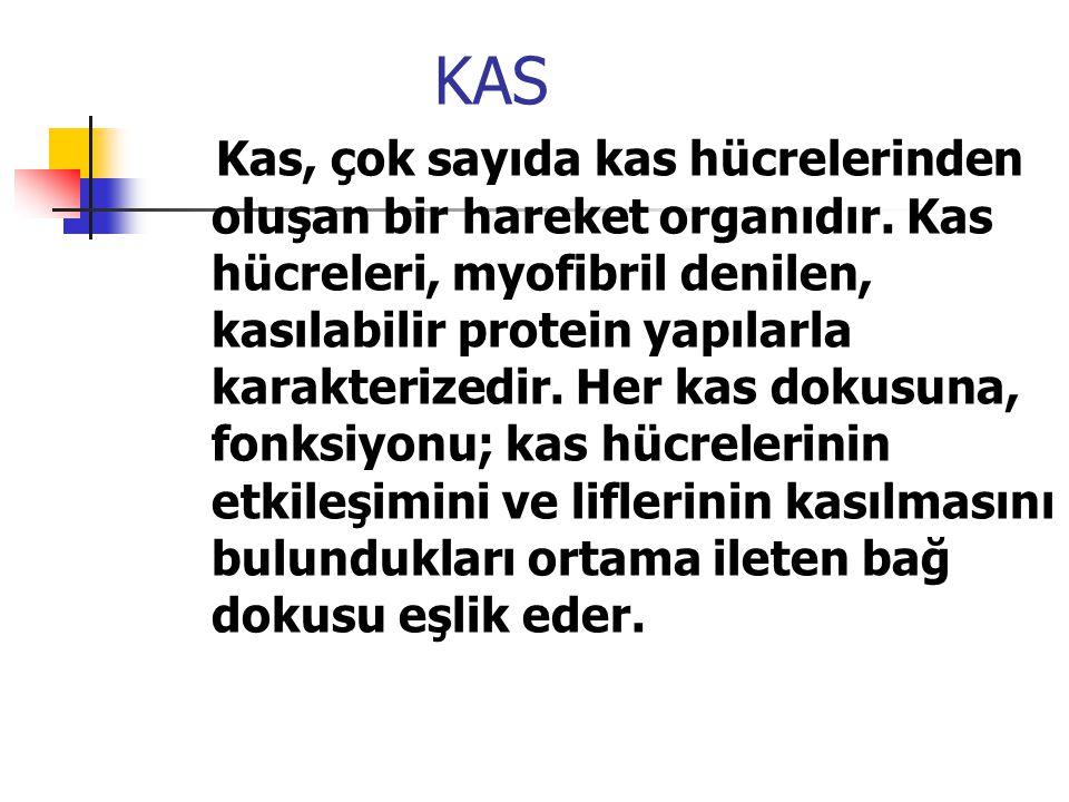 KAS Kas, çok sayıda kas hücrelerinden oluşan bir hareket organıdır. Kas hücreleri, myofibril denilen, kasılabilir protein yapılarla karakterizedir. He