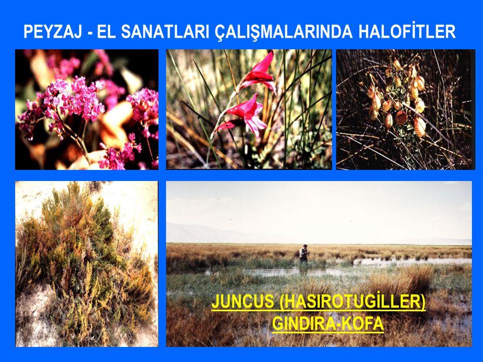 PEYZAJ - EL SANATLARI ÇALIŞMALARINDA HALOFİTLER JUNCUS (HASIROTUGİLLER) GINDIRA-KOFA