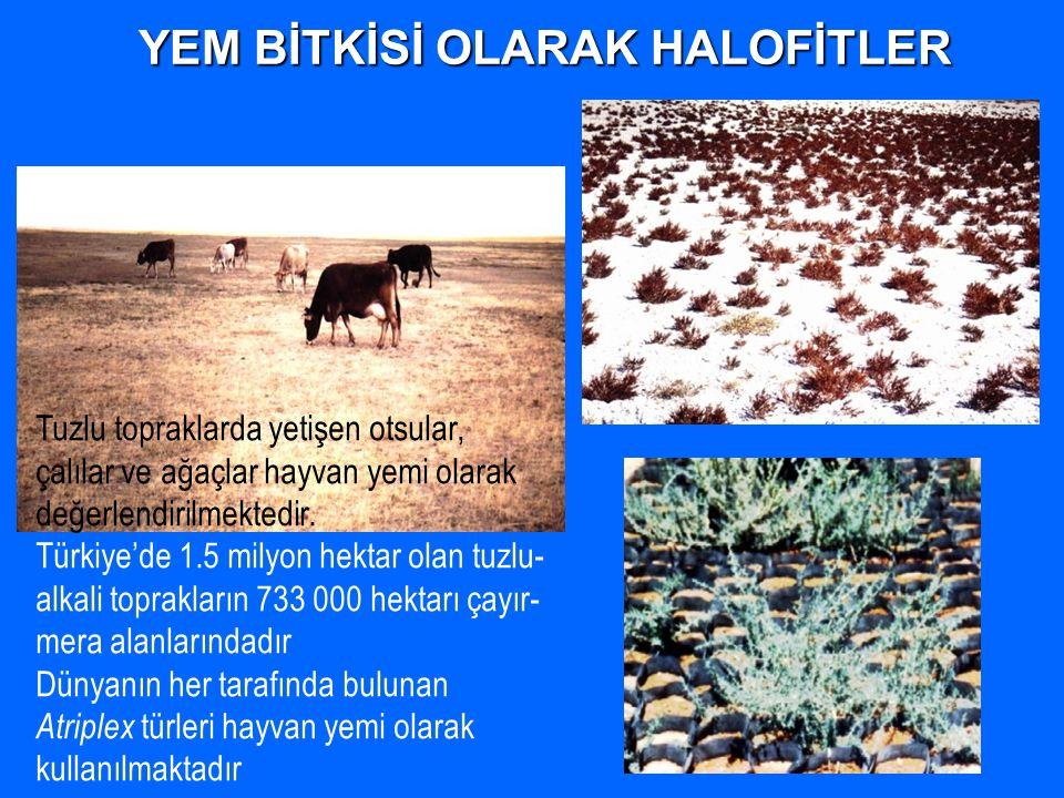 YEM BİTKİSİ OLARAK HALOFİTLER Tuzlu topraklarda yetişen otsular, çalılar ve ağaçlar hayvan yemi olarak değerlendirilmektedir. Türkiye'de 1.5 milyon he