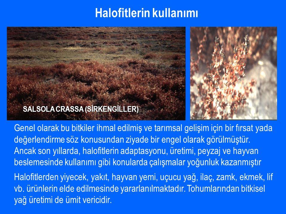 Halofitlerin kullanımı SALSOLA CRASSA (SİRKENGİLLER) Genel olarak bu bitkiler ihmal edilmiş ve tarımsal gelişim için bir fırsat yada değerlendirme söz konusundan ziyade bir engel olarak görülmüştür.