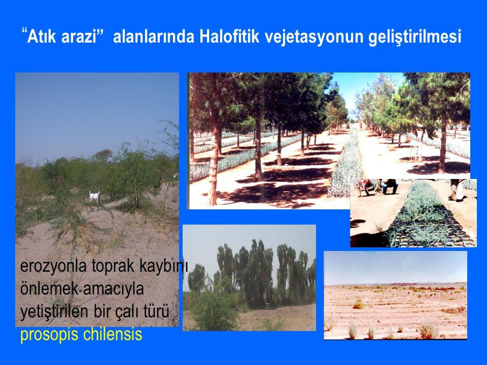 FamilyaTür SayısıToprak Tuzluluğu Plumbaginacea Dişotugiller 7 Limonium anatolicum Anadolu Kuduzotu (E) Limonium lilacinum* Devekulağı (E) Sodyum Klorür, Sodyum Sülfat, EC: 4.3 – 88.1 dS/m pH : 7.54 - 8.71 DSY: 1.2 - 46.1 Kireç (%): 50.2 - 54.0 Liliaceae Zambakgiller 8Sodyum Sülfat, Magnezyum Sülfat EC : 13.6 - 34.1 dS/m pH :8.68 - 10.36 DSY: 28.0 - 32.0, Kireç (%): 56.2 - 60.0 Boraginaceae Hodangiller 5 Onasma halophilum Emzik Otu (E) Sodyum Klorür, Sodyum Sülfat EC: 60.0- 75.0 dS/m Tamaricaceae Ilgıngiller 4Sodyum Klorür, Sodyum Sülfat EC: 33.0- 34.0 dS/m Araştırma Alanlarında Tespit Edilen Bitkiler ve Toprak Tuzluluk Değerleri