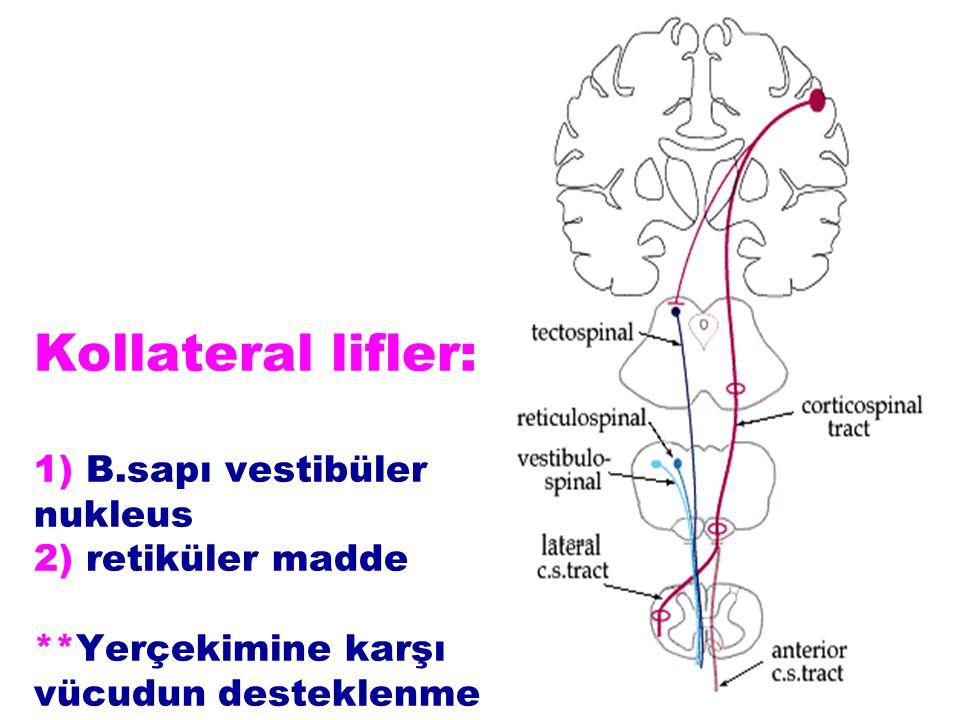 Kollateral lifler: 1) B.sapı vestibüler nukleus 2) retiküler madde **Yerçekimine karşı vücudun desteklenmesi