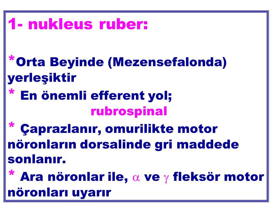 1- nukleus ruber: * Orta Beyinde (Mezensefalonda) yerleşiktir * En önemli efferent yol; rubrospinal * Çaprazlanır, omurilikte motor nöronların dorsalinde gri maddede sonlanır.