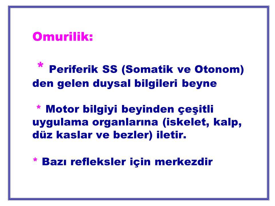 Omurilik: * Periferik SS (Somatik ve Otonom) den gelen duysal bilgileri beyne * Motor bilgiyi beyinden çeşitli uygulama organlarına (iskelet, kalp, düz kaslar ve bezler) iletir.