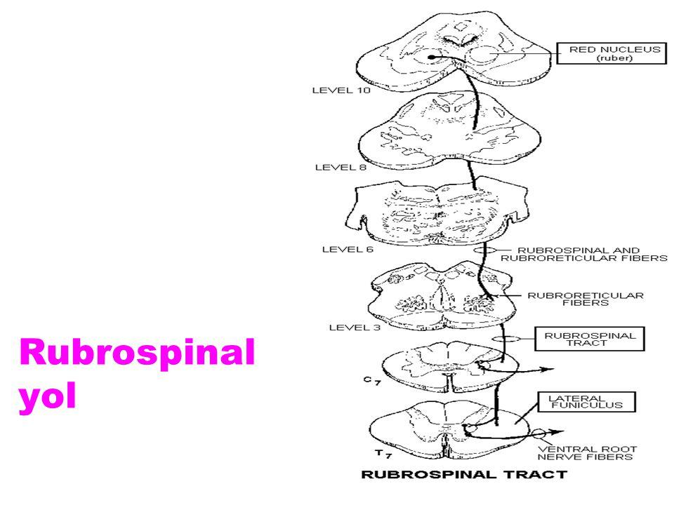 Rubrospinal yol