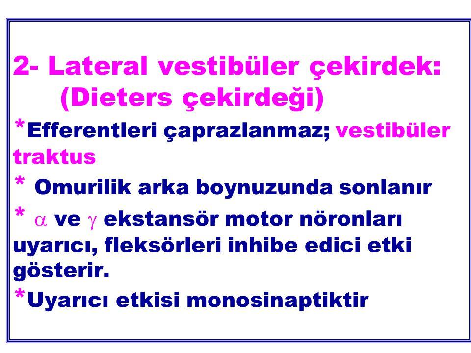 2- Lateral vestibüler çekirdek: (Dieters çekirdeği) * Efferentleri çaprazlanmaz; vestibüler traktus * Omurilik arka boynuzunda sonlanır *  ve  ekstansör motor nöronları uyarıcı, fleksörleri inhibe edici etki gösterir.