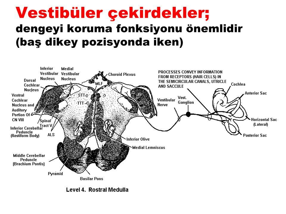 Vestibüler çekirdekler; dengeyi koruma fonksiyonu önemlidir (baş dikey pozisyonda iken)