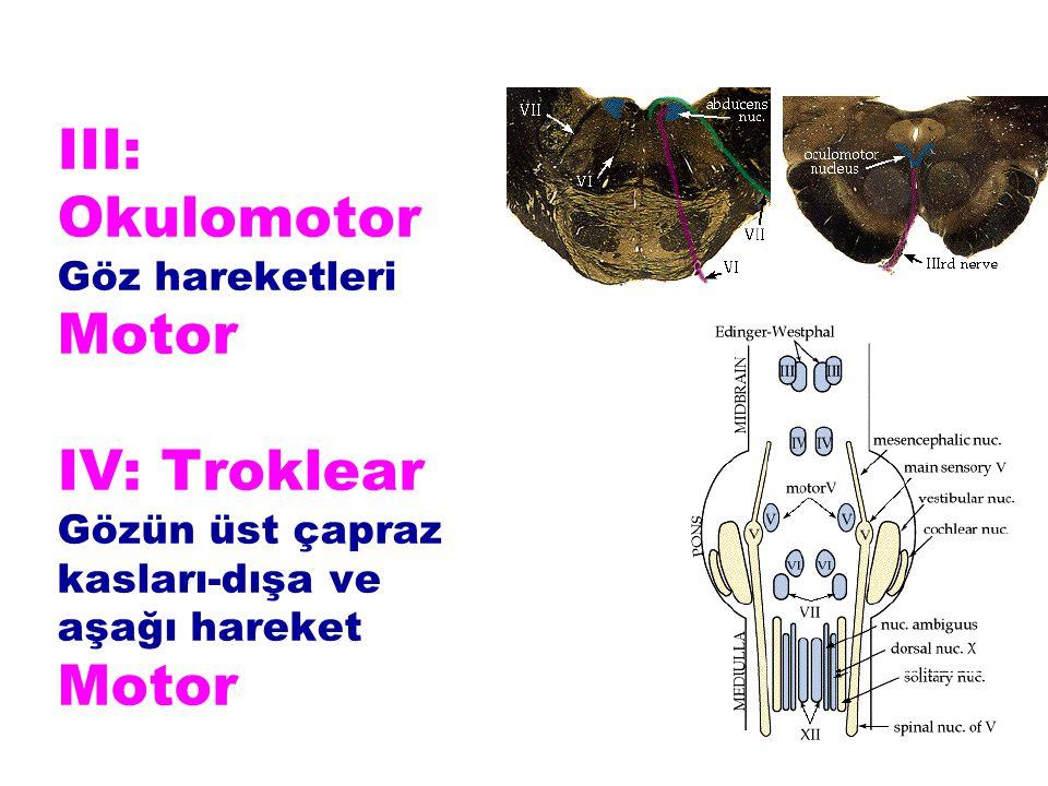 III: Okulomotor Göz hareketleri Motor IV: Troklear Gözün üst çapraz kasları-dışa ve aşağı hareket Motor