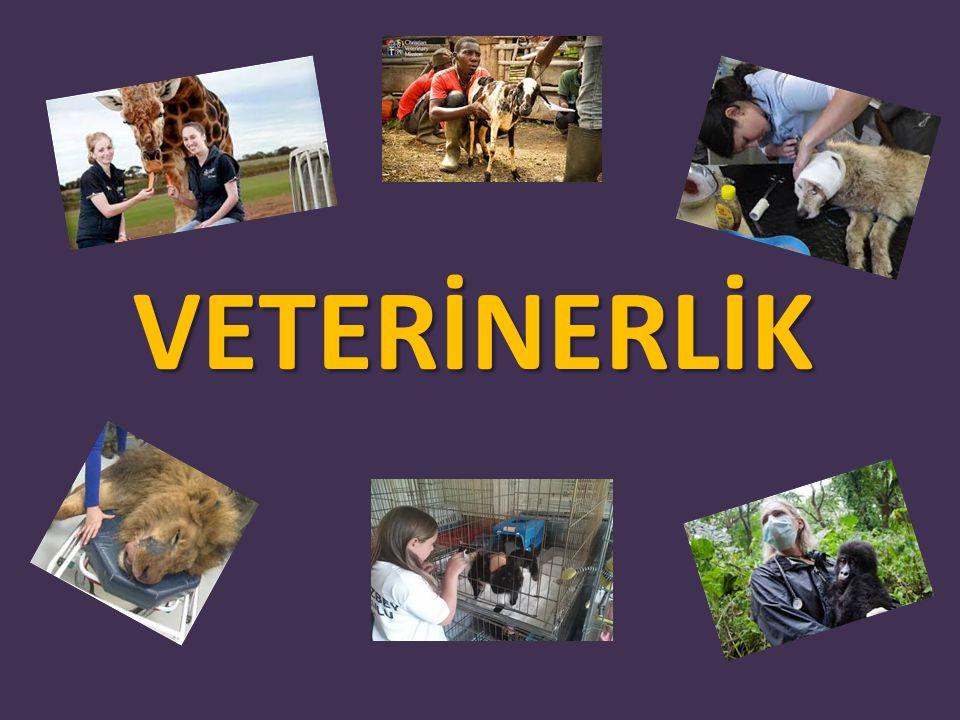 VETERİNER HEKİM DOKTOR Veteriner Hekimliği; evcil ve vahşi hayvanların tedavileri, sağlıklarının korunması, hastalıkların tedavisi, salgın hastalıkların önlenmesi gibi konularda çalışma yapar.