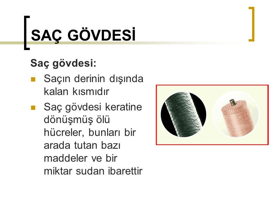 Tırnak Yapısı Tırnak, deri kıvrımının altında 3-6 mm daha uzanır.